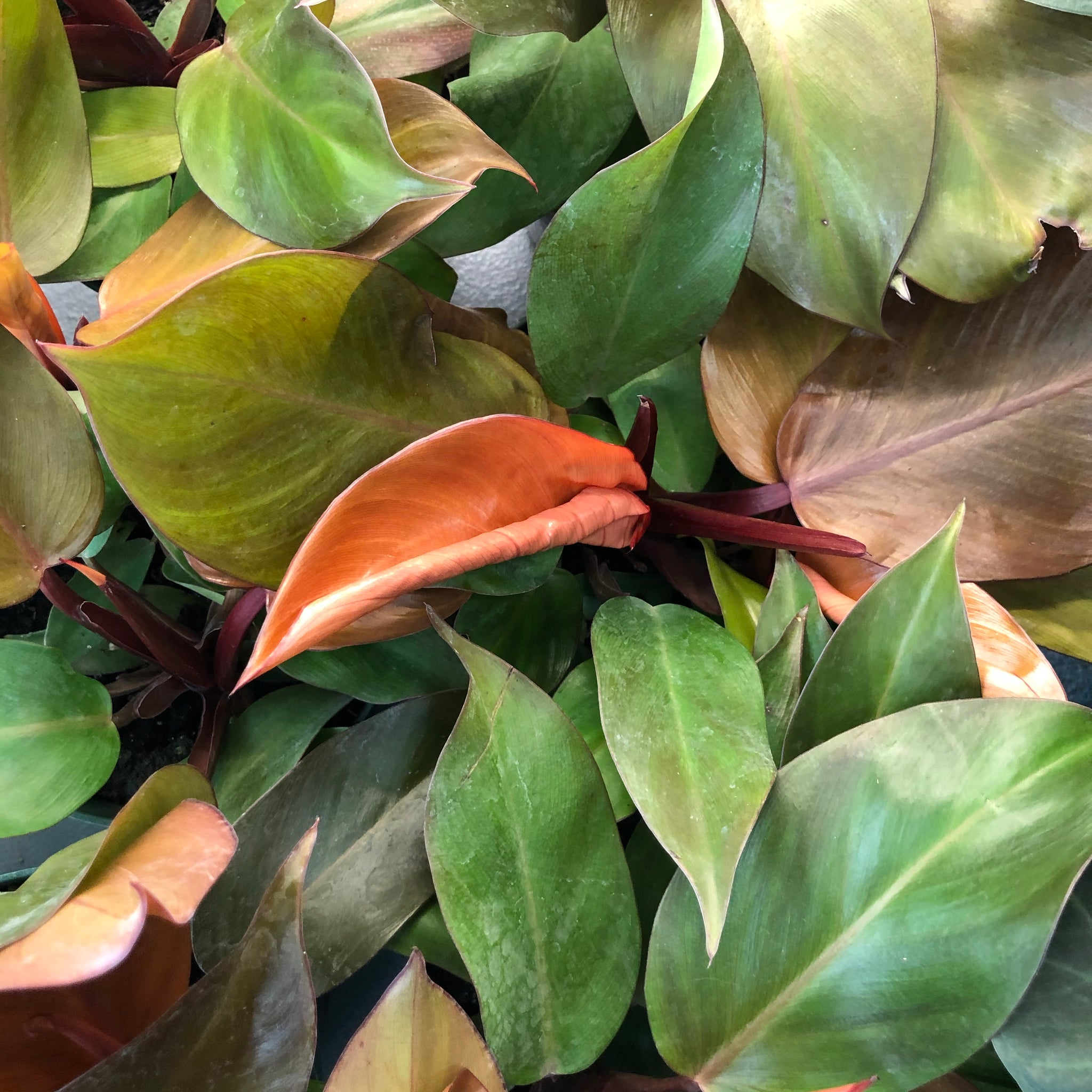 Philodendron 'Prince of Orange' (6in)