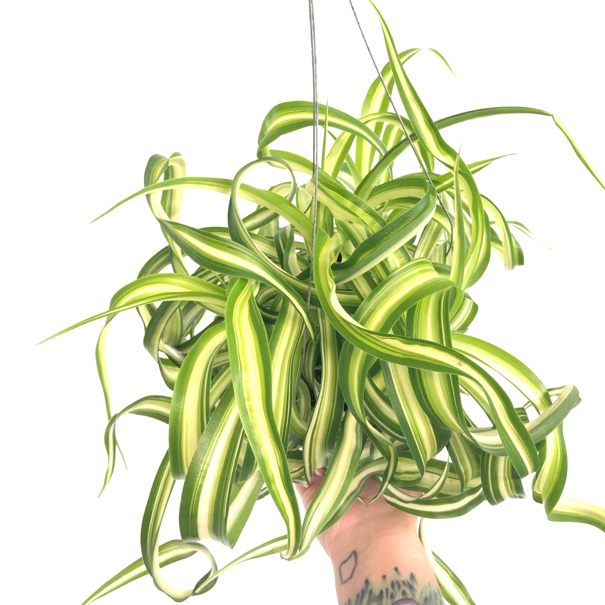 Curly Spider Plant  (6in)