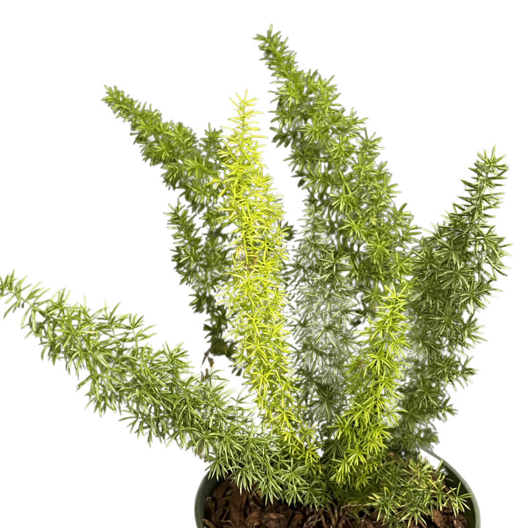 Foxtail Fern (6in)