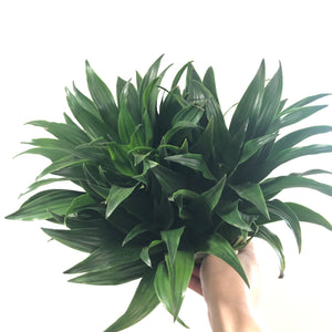 Dracaena JC Compacta (6in)