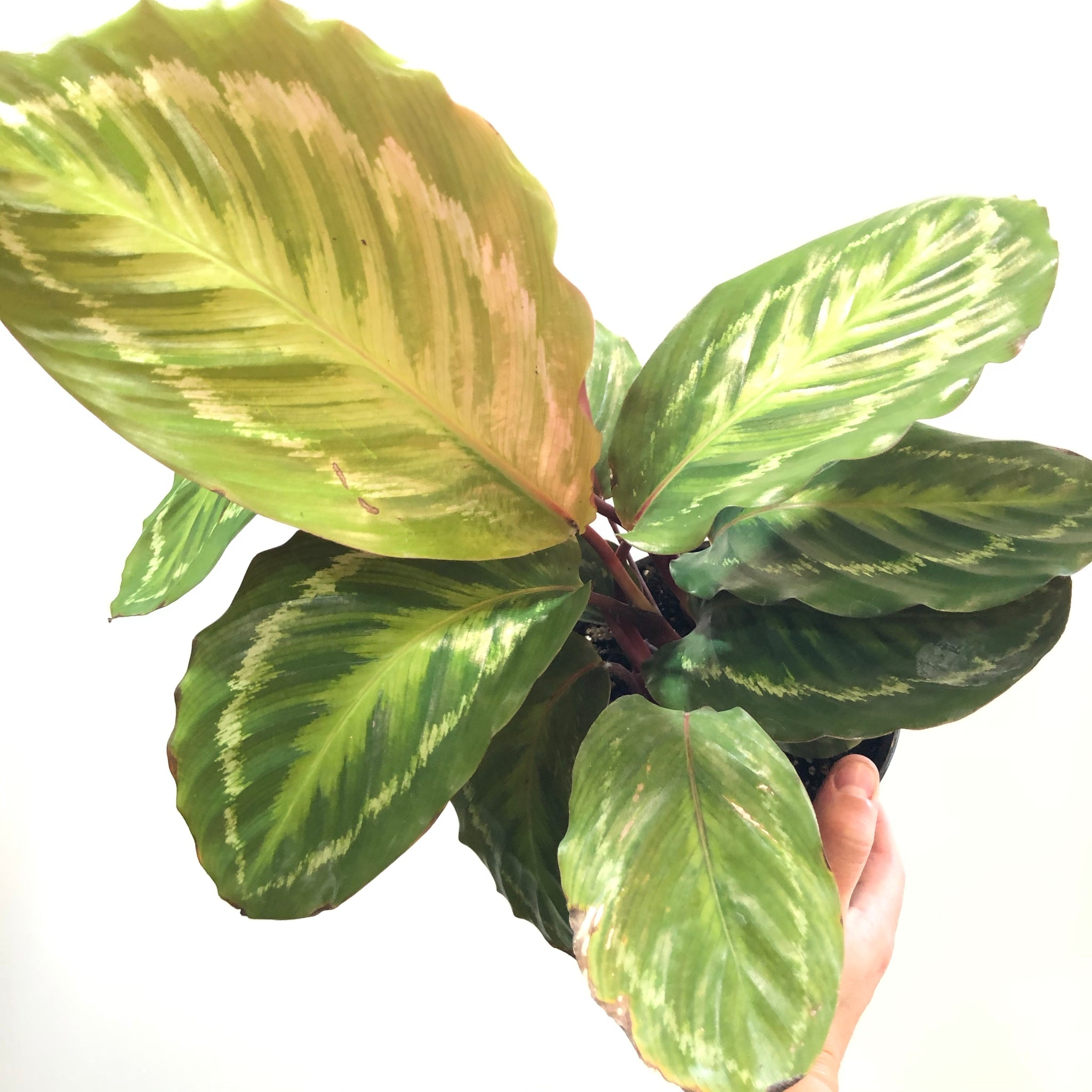 Calathea 'Jungle Cat'