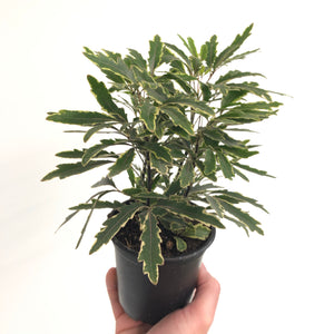 Variegated False Aralia