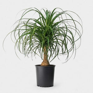 Ponytail Palm  (6in)