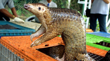 Hope for pangolins as protection boosted in China