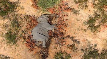 356 Elephants Died Suddenly. The Cause Is a Mystery.