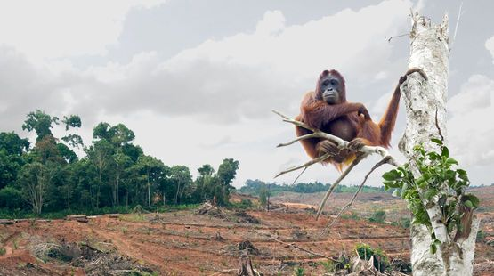 A dramatic photo of an orangutan habituating a deforested area.