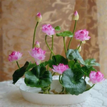 Premium Bonsai Lotus Flower Seeds