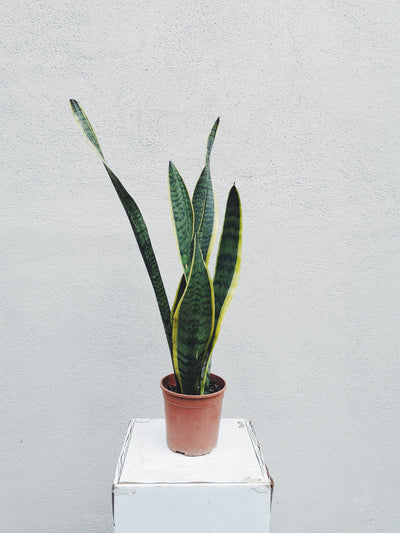 Nursery Plant - Snake Plant - WhichKraft Projekt