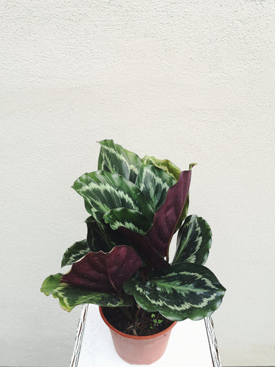Nursery Plant - Calathea Medallion - WhichKraft Projekt