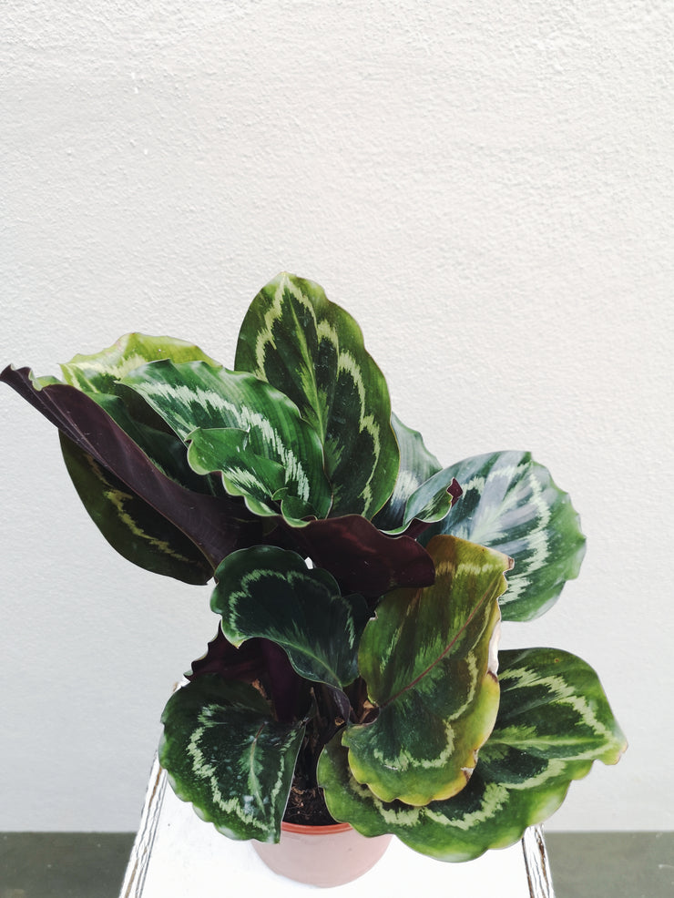 POTTED PLANT - CALATHEA VEITCHIANA