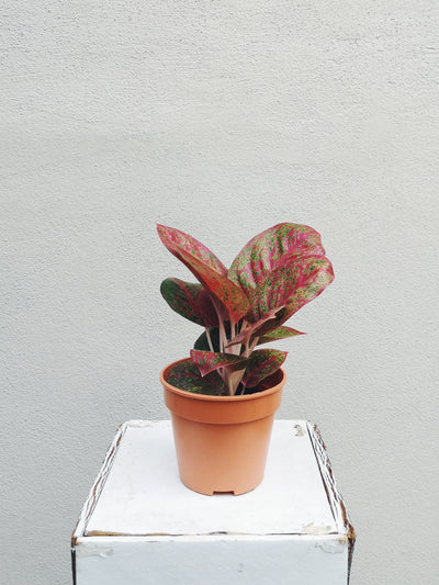 Nursery Plant - Aglaonema Red - WhichKraft Projekt