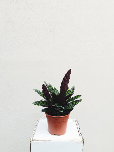 POTTED PLANT - RATTLESNAKE PLANT - WhichKraft Projekt