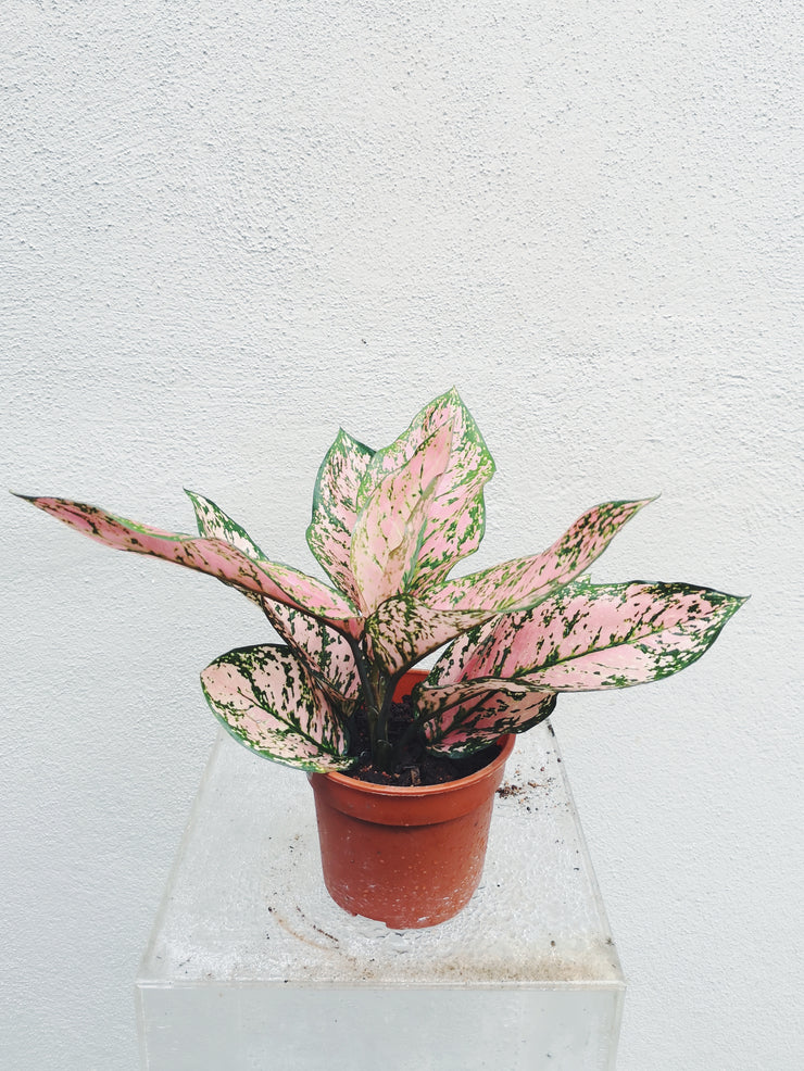 Nursery Plant - Aglaonema Speckled Pink - WhichKraft Projekt