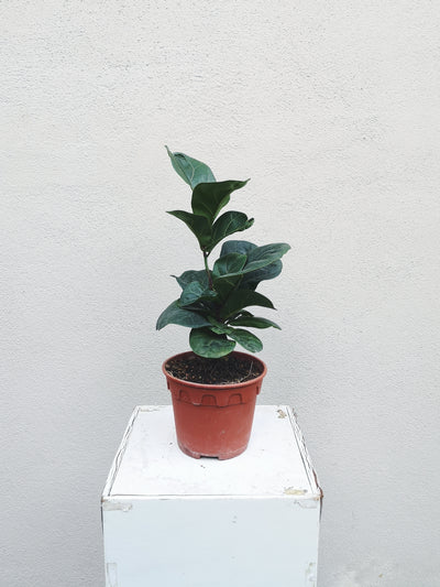 Nursery Plant - Fiddle-Leaf Fig - WhichKraft Projekt
