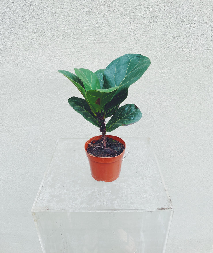 Mini Fiddle Leaf Fig (3pc-10pc)