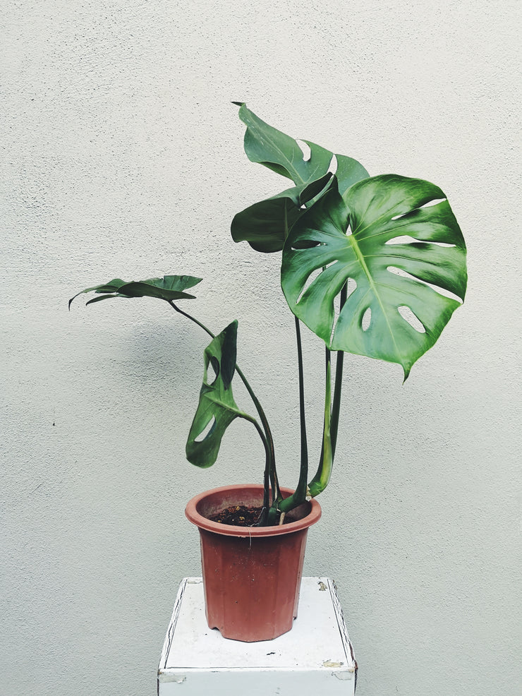 POTTED PLANT - MONSTERA (L)
