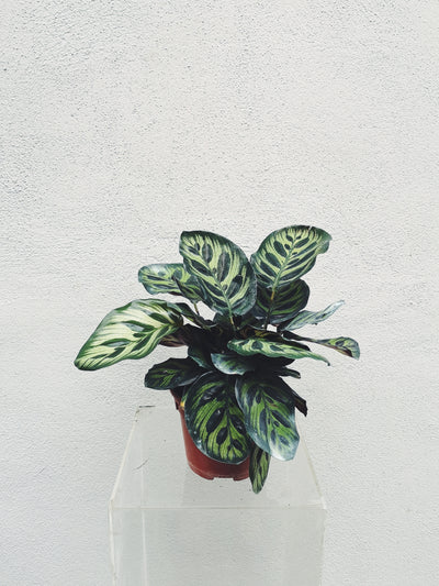 Peacock Plant (3pc-10pc)