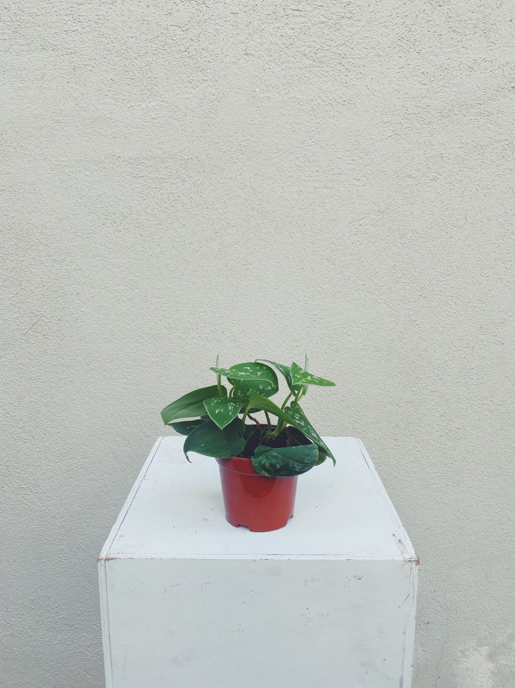 Philodendron (3pc-10pc)