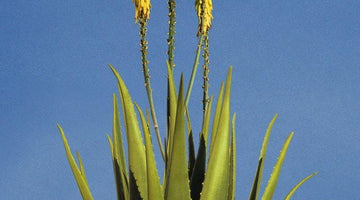 How to care and grow your aloe vera plant