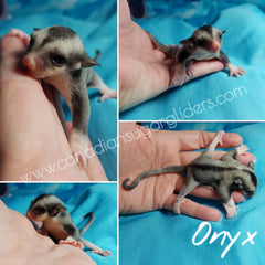 Black Face Black Beauty Mosaic Sugar Glider Joey BFBB
