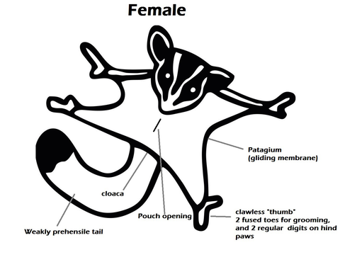 Female Sugar Glider Anatomy