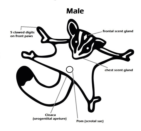 Male Sugar Glider Anatomy