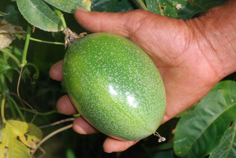 A giant passion fruit before it's ripe