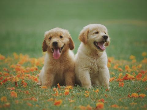 two puppies sitting on grass