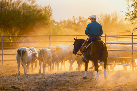 western horse saddles, cowboy herds cows during the golden hour