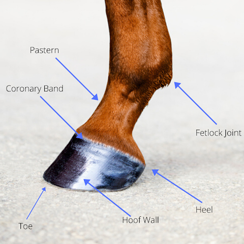 lower limb of a horse
