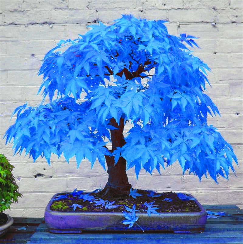20pcs bonsai blue maple tree plants