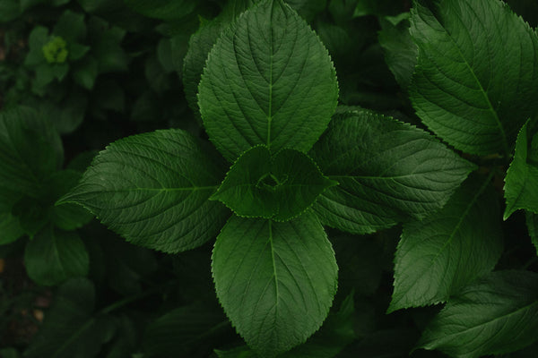 The Wonders Of Peppermint Leaf