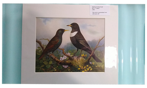 Feathered world starling and ring ouzel lithograph 20th century
