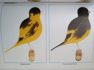 THE FIFE CANARY BY TERRY KELLY. NEW