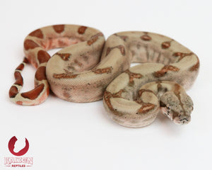 Male Hypo 66% het Albino Blood