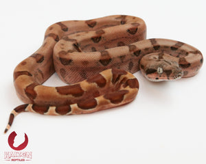 Female Hypo 66% het Albino Blood