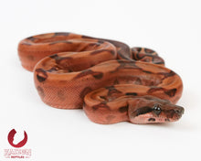 Female Hypo Blood 66% het Albino