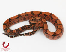 Female Blood 66% het Albino