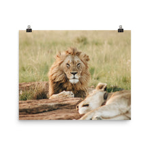 Load image into Gallery viewer, Lion Resting Poster