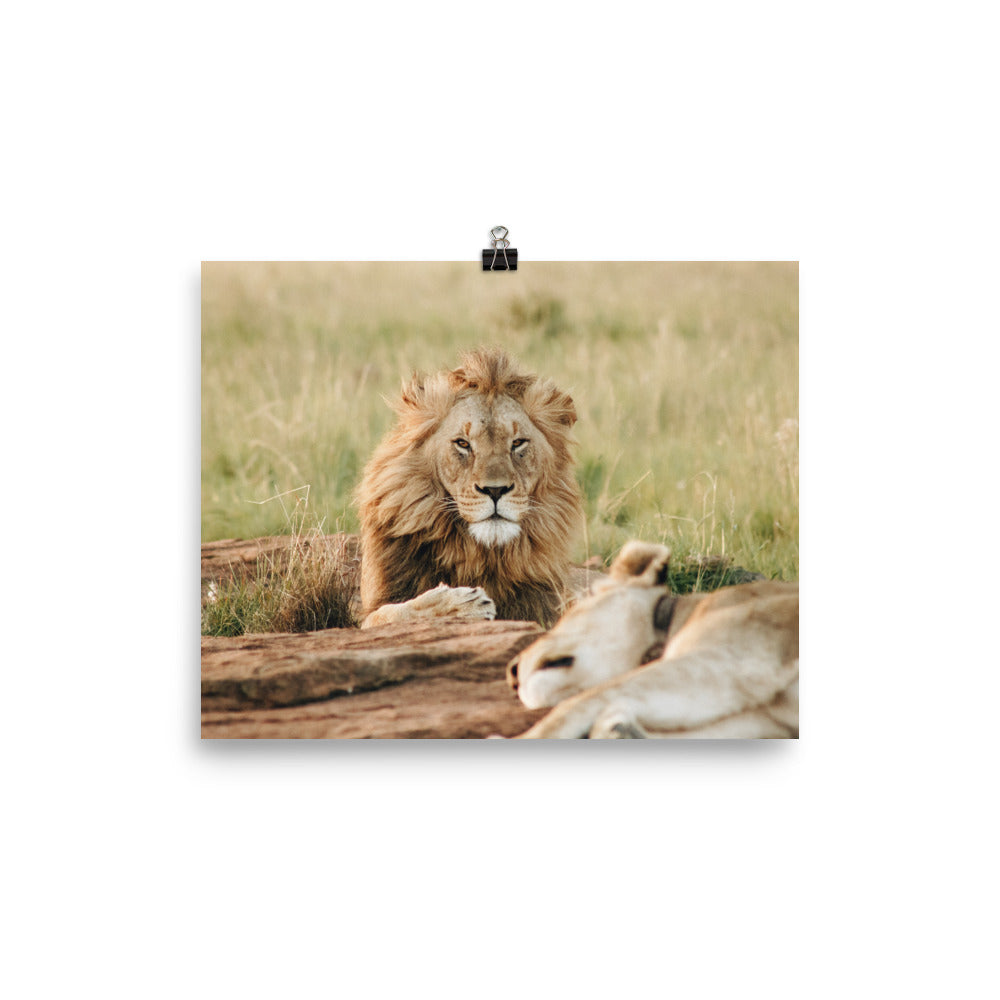 Lion Resting Poster
