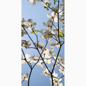 Metal Print - White Dogwood