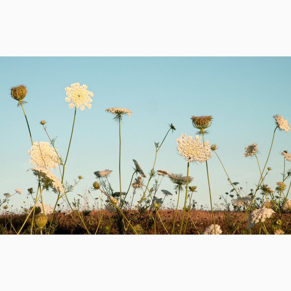 Metal Print - Queen Anne's Lace