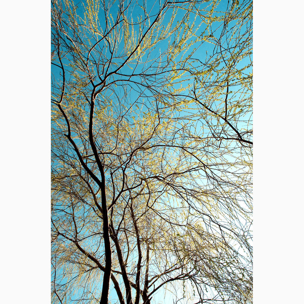 Metal Print - Golden Willow