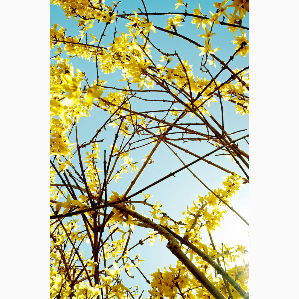 Metal Print - Forsythia