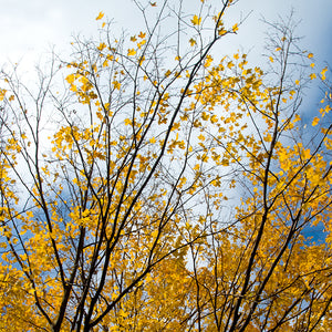 Metal Print - Autumn Yellow