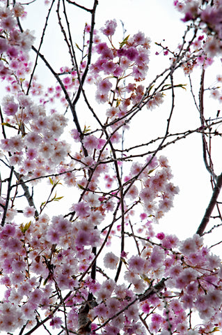 Metal Print - Cherry Willow