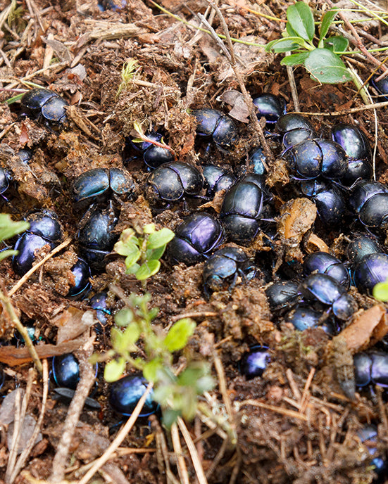Dung beetles at work