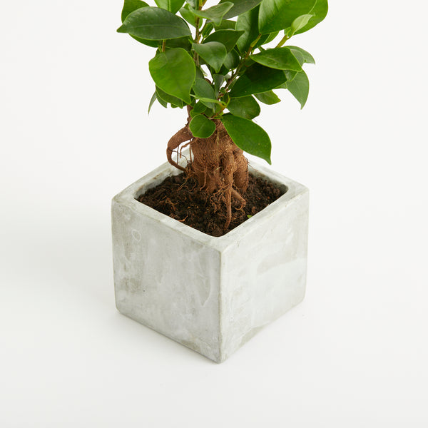 Medium Concrete Planted Pot - Bonsai