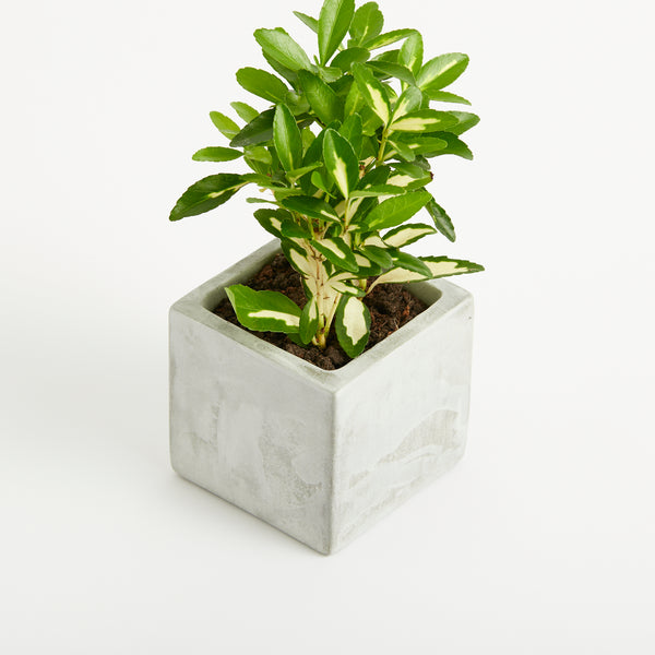 Medium Concrete Planted Pot - Hedge
