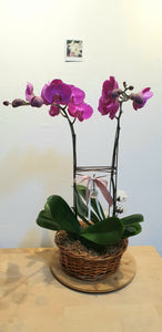 Twin Phalaenopsis Arrangement
